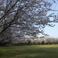 ぐるりと桜